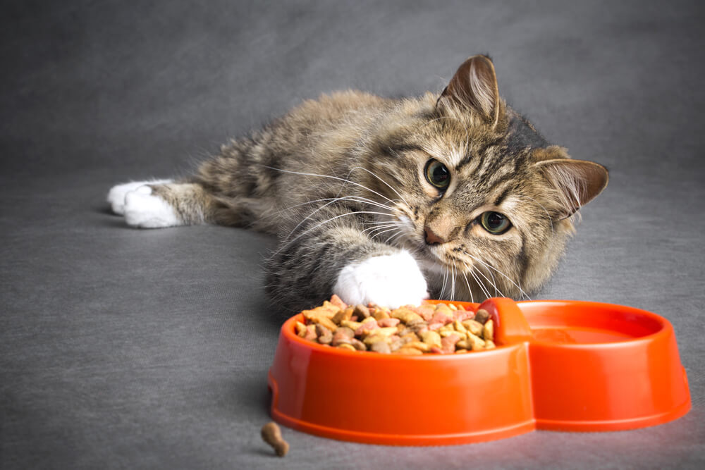 Cat looking at dry cat food in a bowl
