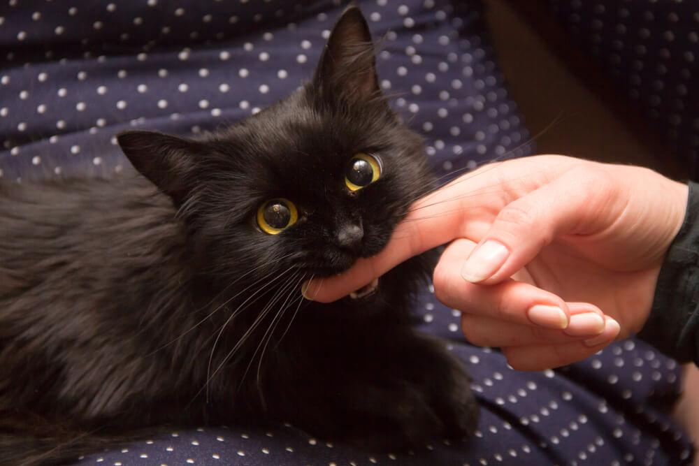 Black Cat Biting Hand
