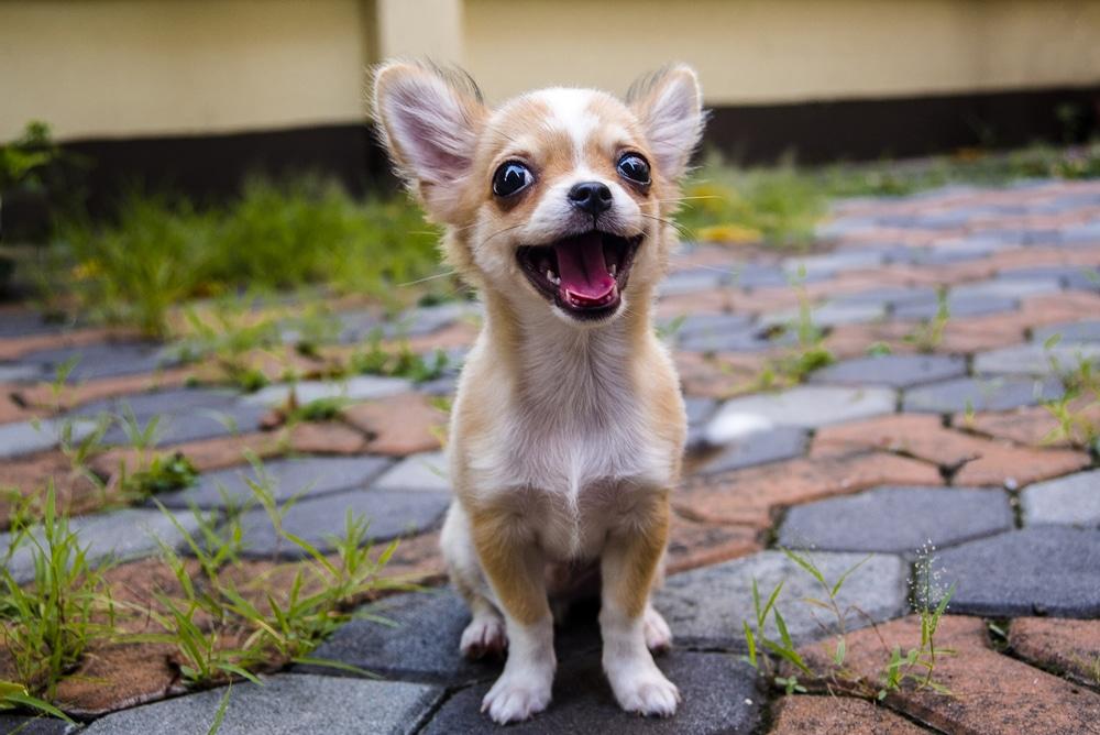 Beautiful Looking Chihuahua Dog