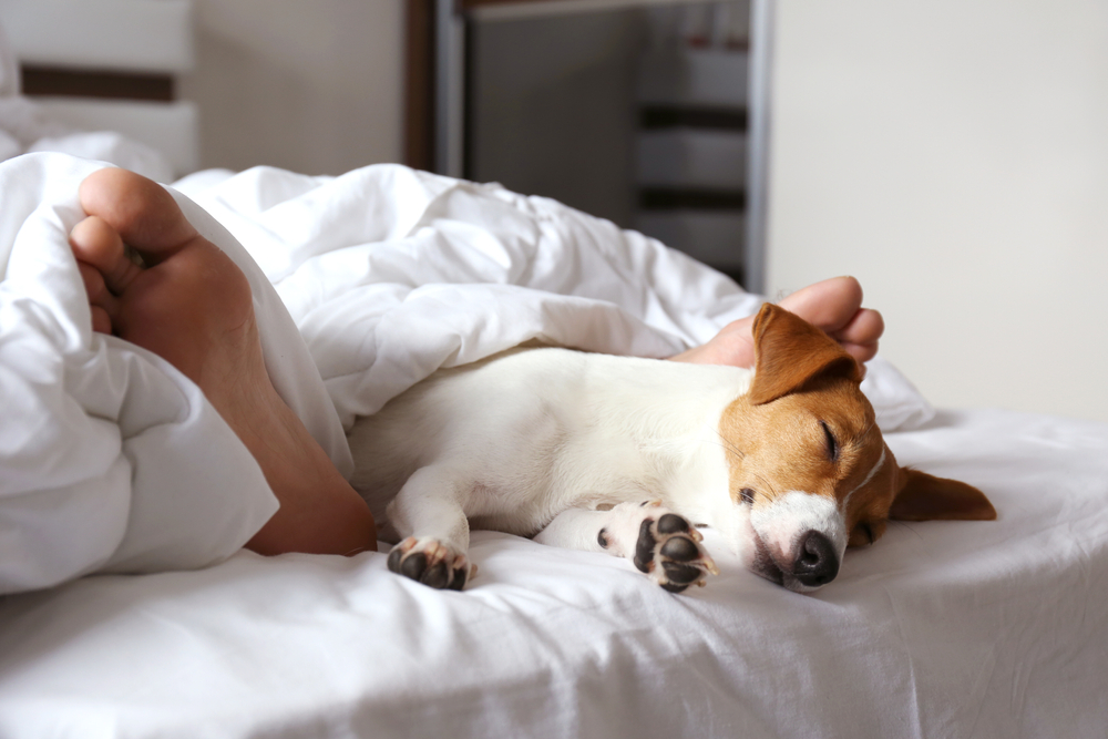 Dog Sleeping Under Covers & Between Legs